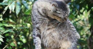 台湾,著名吸引力,猴子猫猫村庄,可爱的平纹,猫修饰, 股票录像