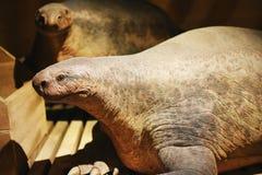 史前动物-平底船遭遇 免版税图库摄影