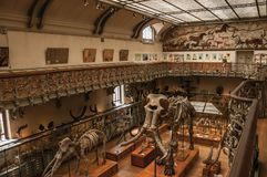 史前骨骼和化石在古生物学和比较解剖学画廊在巴黎 免版税库存照片