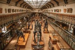 史前骨骼和化石在古生物学和比较解剖学画廊在巴黎 库存图片