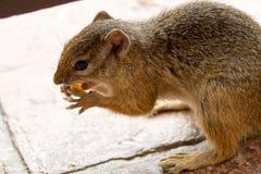 史密斯的在维多利亚瀑布徒步旅行队小屋的布什灰鼠 免版税库存图片