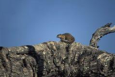 史密斯的灌木灰鼠,博茨瓦纳 库存图片