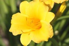 史特拉de Oro Flower特写镜头 库存照片