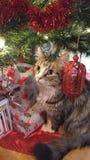 史诗可爱的圣诞节猫 库存图片