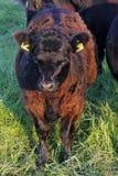 右侧的母牛 免版税库存图片