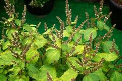 绿叶刺蕊草植物花  免版税库存照片