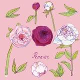 叶子、牡丹传染媒介例证词根和开花  与桃红色,紫色和白花的图片 背景气球是兔宝宝能不尽的装载女孩页模式表面纹理使用的墙纸万维网 向量例证
