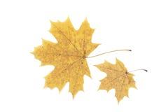 叶子二黄色 库存图片