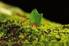 叶子切削刀蚂蚁运载一片叶子 免版税图库摄影