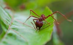 叶子削减4的切削刀蚂蚁 免版税图库摄影