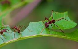 叶子削减3的切削刀蚂蚁 免版税库存照片