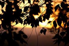 叶子剪影在背后照明的 免版税库存图片