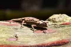 叶子变色蜥蜴 库存图片