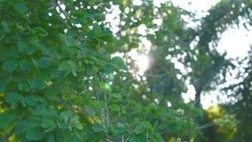 叶子和树行动和bokeh太阳落山自然英尺长度夹子 影视素材