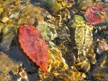 叶子和石头在溪 库存图片