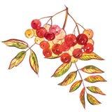 叶子和花楸浆果,在白色背景隔绝的手拉的花卉构成的水彩例证 免版税库存照片