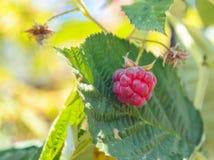 叶子和莓在茎 免版税库存照片