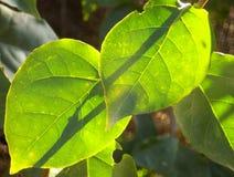 叶子和阳光 免版税库存图片