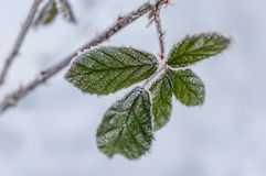 叶子和雪花的弗罗斯特 图库摄影
