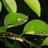 叶子和露水在雨以后 免版税图库摄影