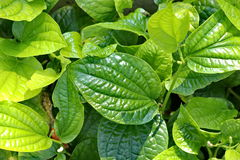 叶子和vegatable 免版税库存图片