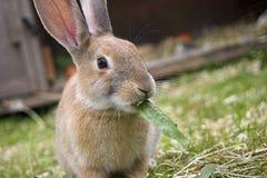 叶子啃的兔子 免版税图库摄影
