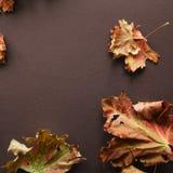 叶子在棕色背景的槭树叶子 免版税库存图片