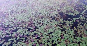 叶子在湖 库存照片