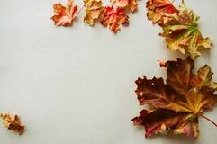 叶子在灰色背景的槭树叶子 图库摄影