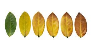 叶子在白色背景的颜色变动 库存照片