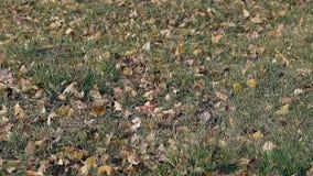 叶子在稀薄的草坪说谎,并且风摇摆绿草 影视素材