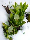 叶子在雪的玫瑰华饰贝母 免版税库存照片