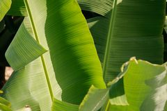 叶子在香蕉种植园在大加那利岛海岛,西班牙 免版税库存照片
