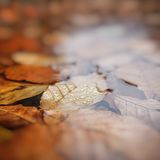 叶子在水,山毛榉中在秋天,浅景深离开, 库存图片