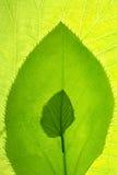 叶子增长被仿造的设计 免版税库存图片