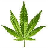 叶子大麻 皇族释放例证