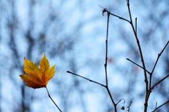 叶子孤独的槭树 免版税库存图片