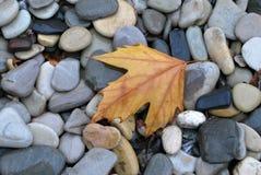 叶子孤独的槭树 免版税图库摄影