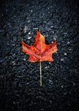 叶子孤独的槭树 图库摄影