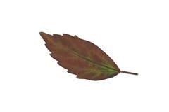 叶子孤立,绿色叶子纹理  图库摄影