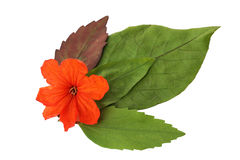 叶子孤立,绿色叶子纹理  免版税库存图片