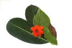 叶子孤立,绿色叶子纹理  库存照片