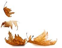 叶子干燥秋天下跌的isoalted干燥背景的 免版税图库摄影