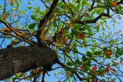 叶子有清楚的蓝天背景 免版税库存图片