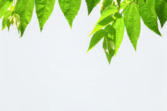 叶子有白色背景 图库摄影