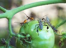 叶子有脚的臭虫和橙色若虫在绿色蕃茄 免版税图库摄影