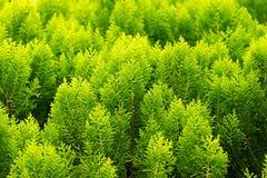 叶子杉木样式 图库摄影