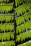 叶子树蕨形成的自然纹理 库存照片
