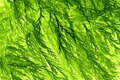 叶子样式常青树 图库摄影