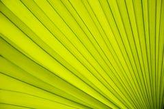 叶子棕榈纹理  免版税库存图片